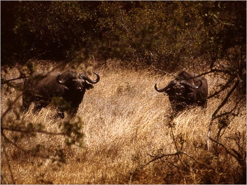 Identify an Ecological Niche for African Buffalo